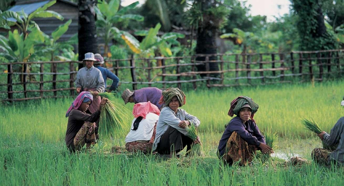 Contadini Cambogia risaie