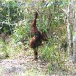 oranghi nel Kalimantan